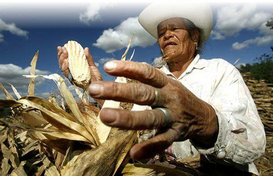 campesino maiz 570 550x355